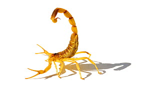 Deathstalker / Palestine Yellow Scorpion (Leiurus quinquestriatus) against white background. Tunisia, Africa.  -  Daniel Heuclin