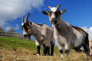 Two adult Pygmy goats (Capra hircus) grazing hay in a fenced paddock, Wiltshire, UK, March.  -  Nick Upton