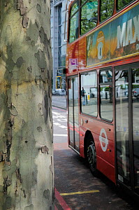 Double decker bus passing peeling bark of pollution resistant London Plane Tree (Platanus x hispanica), Euston Road, London, UK, May. 2012. No release available. - Nick Upton
