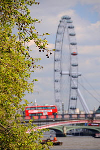 London Plane Tree (Platanus x hispanica) with dangling fruits overhanging the River Thames with the London Eye and a double decker bus crossing Lambeth Bridge in the background, London, UK, May. 2012  -  Nick Upton