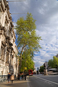Row of London Plane Trees (Platanus x hispanica) lining Whitehall, long exposure, London, UK, May. 2012 - Nick Upton