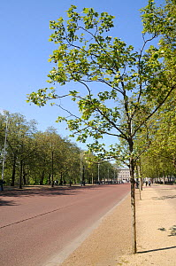 Avenues of London Plane Trees (Platanus x hispanica) lining The Mall with Buckingham Palace in the background, London, UK, May. 2012 - Nick Upton