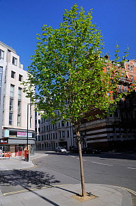 Young London Plane Tree (Platanus x hispanica), Buckingham Gate, Westminster, London, UK, May. 2012 - Nick Upton