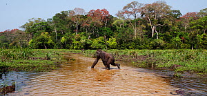 Western lowland gorilla (Gorilla gorilla gorilla) sub-adult female 'Mosoko' aged 8 years crossing a river, Bai Hokou, Dzanga Sangha Special Dense Forest Reserve, Central African Republic - Anup Shah