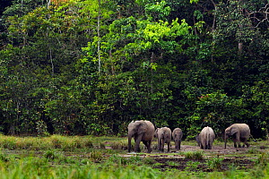 Forest elephant herd (Loxodonta cyclotis) drinking and wallowing in a river, Bai Hokou, Dzanga Sangha Special Dense Forest Reserve, Central African Republic  -  Anup Shah