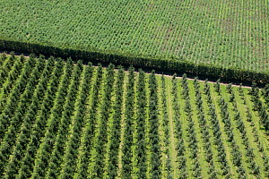 Orchards and asparagus growing with a windbreak dividing the two, seen from a helicopter. Near Bridge Pa, Hawkes Bay, North Island,  New Zealand.  -  Brent Stephenson