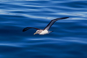 Buller's albatross (Thalassarche bulleri) flying low over a calm sea. Off Napier, Hawkes Bay, New Zealand.  -  Brent Stephenson