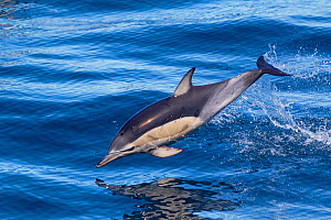 Short-beaked common dolphin (Delphinus delphis) breaking the surface and leaping from the water. Off Napier, Hawkes Bay, New Zealand. - Brent Stephenson