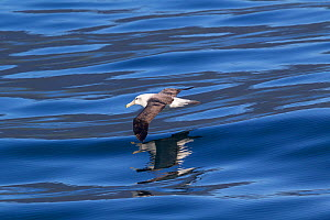 White-capped albatross (Thalassarche steadi) flying low over the sea with reflection, off the coast of Fiordland, New Zealand.  -  Brent Stephenson