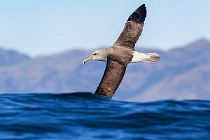 Salvin's albatross (Thalassarche salvini) in flight low over the sea, partially obscured by a wave off Kaikoura, Canterbury, New Zealand.  -  Brent Stephenson