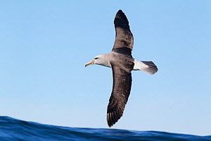 Salvin's albatross (Thalassarche salvini) in flight low over the sea, off Kaikoura, Canterbury, New Zealand.  -  Brent Stephenson