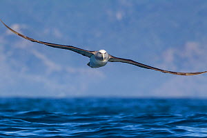 Salvin's albatross (Thalassarche salvini) in flight low over the sea, with land in the background, off Kaikoura, Canterbury, New Zealand.  -  Brent Stephenson