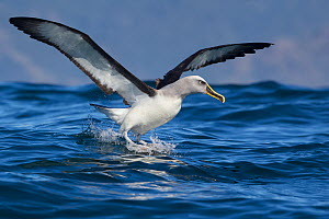Buller's albatross (Thalassarce bulleri) landing on the sea with wings outstretched off Kaikoura, Canterbury, New Zealand.  -  Brent Stephenson