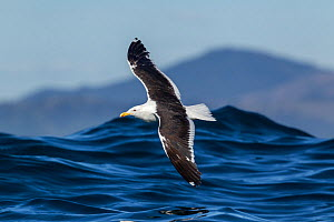 Southern black backed / kelp gull (Larus dominicanus) in flight low over the sea with a wave behind, off Kaikoura, Canterbury, New Zealand  -  Brent Stephenson