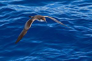 Buller's shearwater (Puffinus bulleri) in flight low over the water, showing upperwing. Off Whitianga, Coromandel Peninsula, New Zealand. - Brent Stephenson