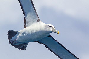 White-capped albatross (Thalassarche steadi) in flight against the sky, showing underwing. Off the Three Kings, Far North, New Zealand.  -  Brent Stephenson
