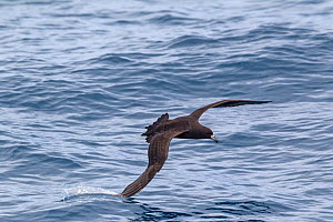 Parkinson's petrel (Procellaria parkinsoni) in flight low over the water, with wingtip dragging in the water, off the Three Kings, Far North, New Zealand.  -  Brent Stephenson