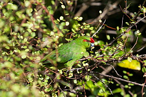 Red crowned parakeet (Cyanoramphus novaezelandiae) feeding amongst tangled vines, Tiritiri Matangi Island, Auckland, New Zealand. - Brent Stephenson