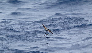 White-faced storm petrel (Pelagodroma marina hypoleuca) feeding by bouncing on the surface of the sea, off Madeira, North Atlantic. May. - Brent Stephenson