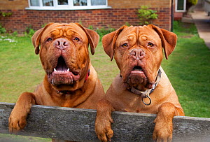 Two Dogue de Bordeaux dogs looking over garden fence. No release available.  -  Ernie Janes