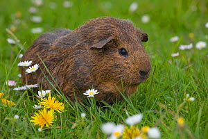 Guinea Pig on grass with daises  -  Ernie Janes