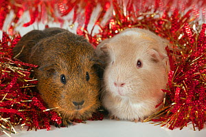 Guinea Pigs surrounded by tinsel  -  Ernie Janes