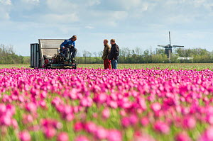 Tulip fields about to be deadheaded, Texel, the Netherlands May 2012. No release available. - Niall Benvie