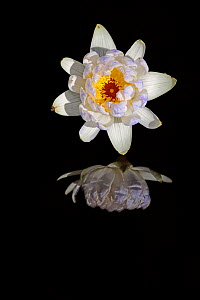Australian Water Lilly (Nymphaea violacea) reflected in water, Bamarru, North West Territories, Australia  -  Andy Rouse