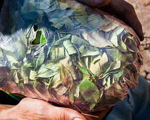 Man holding a half kilogram bag of Coca (Erythroxylum coca) leaves, valued at 20 Bolivianos, or approximately two British Pounds, Bolivia, November - Roy Mangersnes