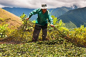 Man gathering crop of Coca (Erythroxylum coca) leaves using a net, the leaves are harvested six times a year, Bolivia, November. No release available.  -  Roy Mangersnes