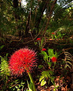 African blood lily (Scadoxus katharinae) flowering the the mist forest around Victoria Falls, Zimbabwe, November  -  Roy Mangersnes