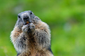Alpine marmot (Marmota marmota)holding hands at mouth, eating, Hohe Tauern National Park, Austria, July  -  Edwin Giesbers