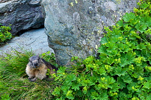 Alpine marmot (Marmota marmota) sheltering under rock, Hohe Tauern National Park, Austria, July - Edwin Giesbers