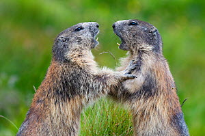 RF- Alpine marmots (Marmota marmota) fighting, Hohe Tauern National Park, Austria. July. (This image may be licensed either as rights managed or royalty free.) - Edwin  Giesbers