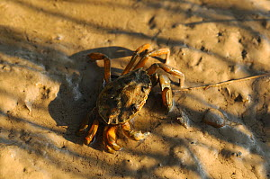 Common shore crab (Carcinus maenas), Essex, England, UK, September  -  Will Watson