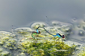 Pair of Small Red-eyed damselflies (Erythromma viridium) on blanket weed, mating, Herefordshire, England, UK, July  -  Will Watson