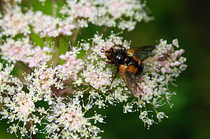 Common rufous parasite fly (Tachina fera) on Wild angelica (Angelica sylvestris) flower, Mortimer Forest, Herefordshire, England, UK, August - Will Watson