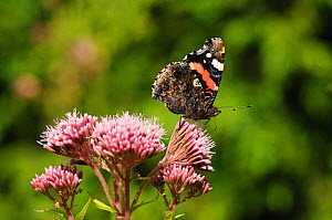 Red Admiral (Vanessa atalanta) butterfly nectaring on Hemp agrimony (Eupatorium cannabinum), Herefordshire, England, UK, August  -  Will Watson