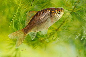 Wild reverted form of Domestic goldfish (Carassius auratus) captive, Herefordshire, England, UK, April  -  Will Watson