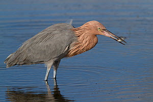 Reddish Egret (Egretta rufescens) dark morph in non-breeding plumage, with minnow in its beak. Tampa Bay, St. Petersburg, Florida, USA, November.  -  Lynn M Stone