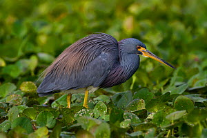 Tricolored Heron (Egretta tricolor) wading through floating bed of plants in freshwater marsh. Lakeland, Florida, USA, November.  -  Lynn M Stone