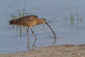 Long-Billed Curlew (Numenius americanus) with Fiddler Crab (Unca sp.) in its beak. St. Petersburg, Florida, USA, April.  -  Lynn M Stone