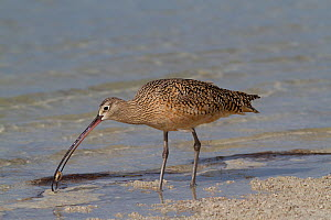 Long-Billed Curlew (Numenius americanus) with caught Fiddler Crab (Unca sp.). St. Petersburg, Florida, USA, April.  -  Lynn M Stone