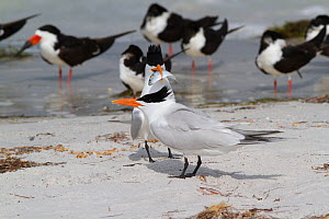 Royal Tern (Thalasseus maximus) in breeding plumage, with Scaled Sardine 'offering' to a female as part of courtship. Black Skimmers are in the background. Pinellas County, Florida, USA, April. - Lynn M Stone