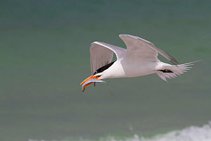 Royal Tern (Thalasseus maximus) in breeding plumage, in flight with Scaled Sardine offering for a female. Gulf of Mexico beach, Pinellas County, Florida, USA, April. - Lynn M Stone