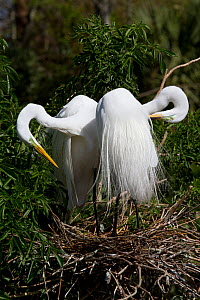 Great Egrets (Ardea alba) preening their breeding plumage, at nest. Osceola County, Florida, USA, March. - Lynn M Stone