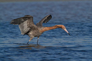 Reddish Egret (Egretta rufescens) in breeding plumage, foraging for food with wings open. St. Petersburg, Florida, USA, April.  -  Lynn M Stone