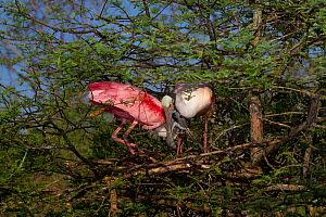Nesting pair of Roseate Spoonbills (Platalea ajaja) in greeting ritual, marked by bill touching and vocalizations, by new nest (under construction) in Bald Cypress tree. St. John's County, Florida, US... - Lynn M Stone