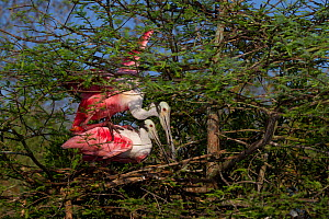 Roseate Spoonbills (Platalea ajaja) male climbing onto female's back to attempt mating by new nest (under construction) in Bald Cypress tree. St. John's County, Florida, USA, March. - Lynn M Stone