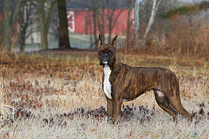 Boxer dog with cropped ears, portrait among frosty grass.  -  Lynn M Stone